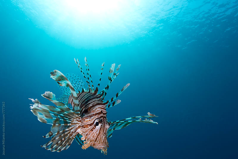 Portrait of a lionfish in the blue water by Jovana Milanko for Stocksy United