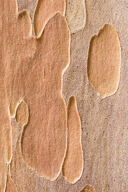 Japanese Stewartia bark textures, closeup by Mark Windom for Stocksy United