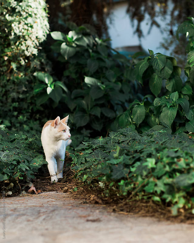 White and ginger cat walks close to shrubs in sunny garden by Laura Stolfi for Stocksy United