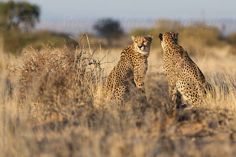Cheetah (Acinonyx jubatus) watching the savannah for intruders by Fotografie Daniel Osterkamp for Stocksy United