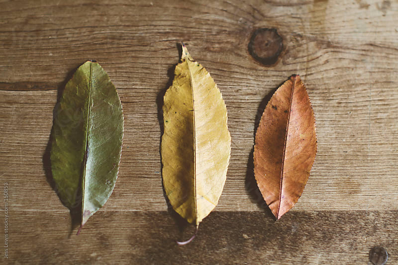 three multicolor leaves on table by Jess Lewis for Stocksy United