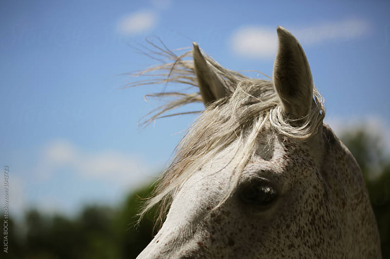 A White Horse With Hair Blowing In The Summer Wind by ALICIA BOCK for Stocksy United