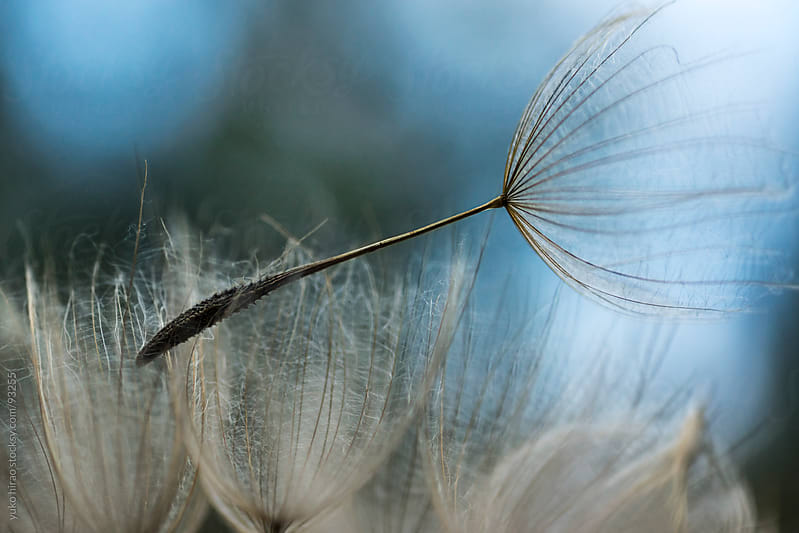 Dandelion seed, ready to fly away by yuko hirao for Stocksy United
