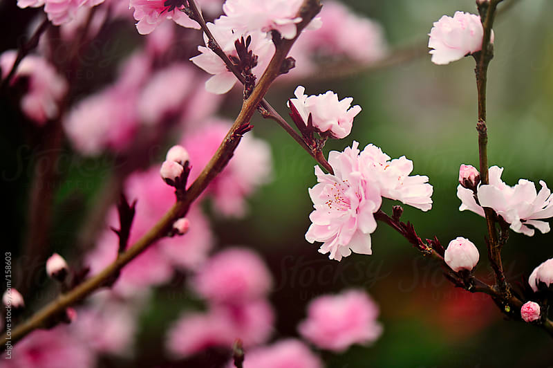 Crabapple Tree in Bloom by Leigh Love for Stocksy United