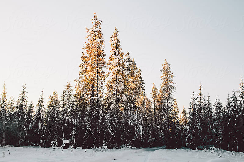 Sunlight illuminating the top of several pine trees.  by Justin Mullet for Stocksy United