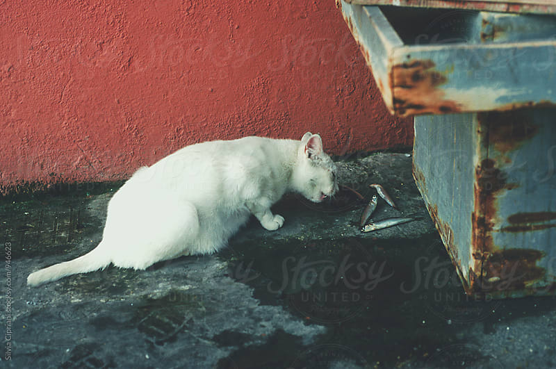 White cat eating fish by Silvia Cipriani for Stocksy United