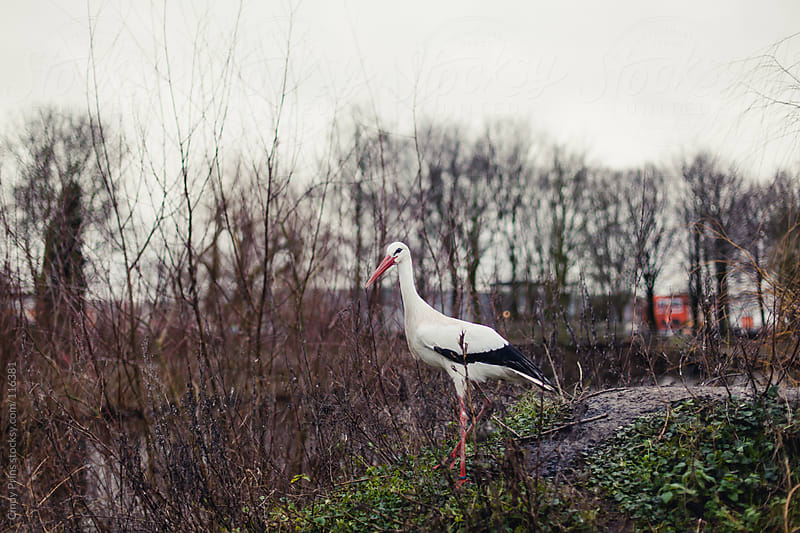A stork standing between bare branches by Cindy Prins for Stocksy United