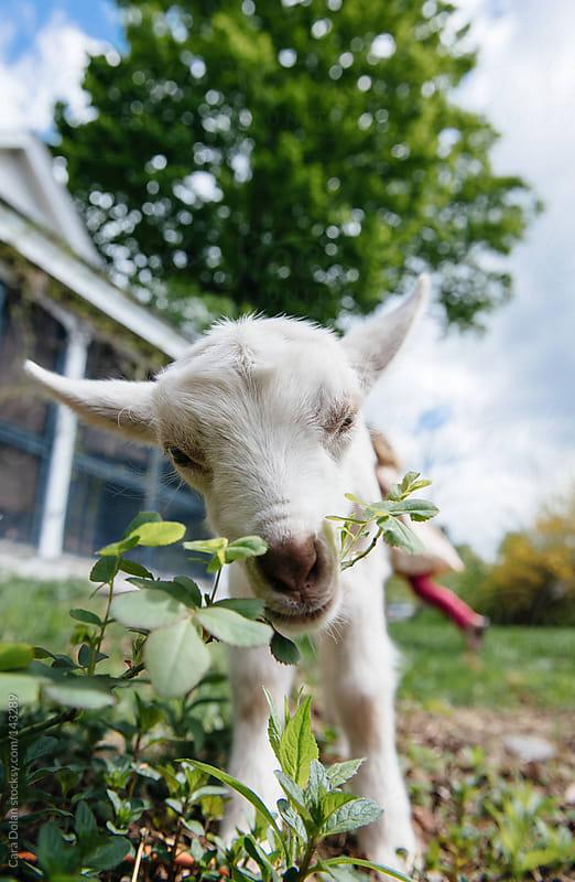 Baby goat eats backyard plants by Cara Dolan for Stocksy United