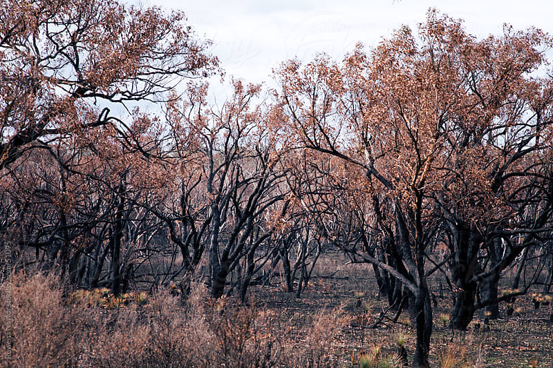 Regrowth and Regeneration on the Australian Bush after a Bushfire by Rowena Naylor for Stocksy United