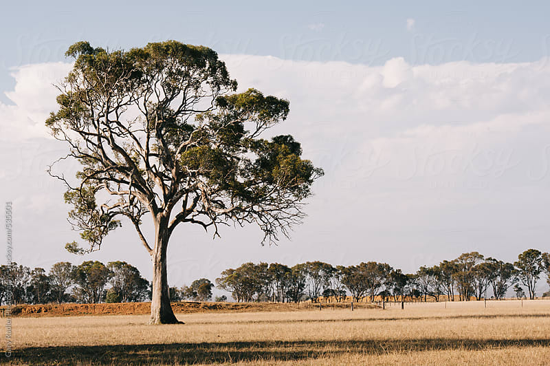 Eucalyptus tree on a farm by Gary Radler Photography for Stocksy United