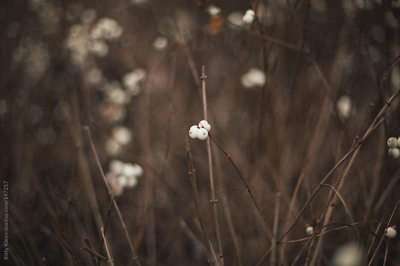 Snowberries by Kitty Kleyn for Stocksy United
