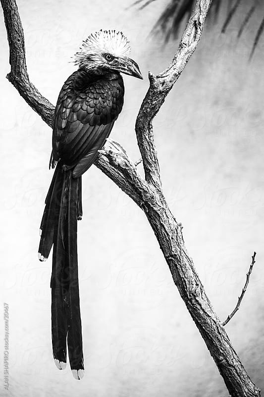 White tailed Hornbill in monochrome by ALAN SHAPIRO for Stocksy United