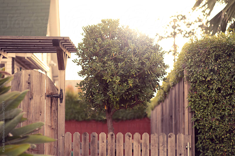 Lone tree behind fence with shrubs in yard by Rachel Bellinsky for Stocksy United