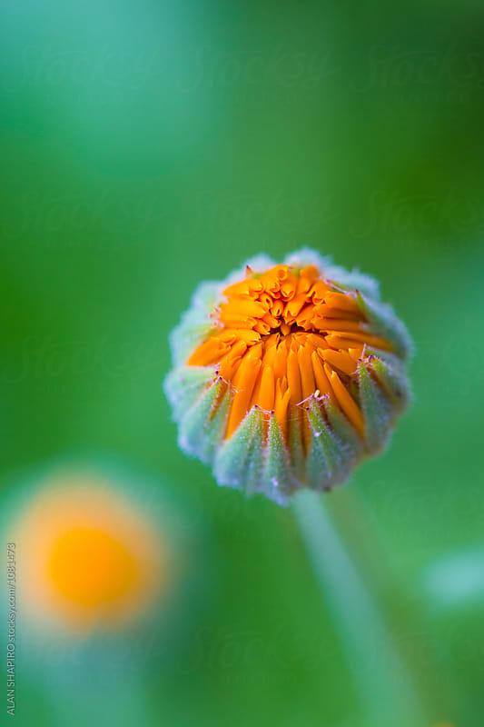 Marigold macro by alan shapiro for Stocksy United