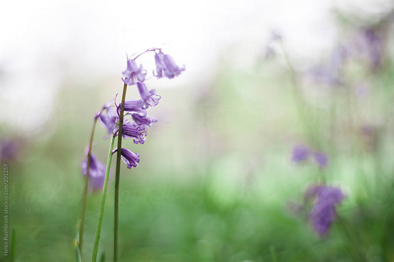 Bluebells by Helen Rushbrook for Stocksy United