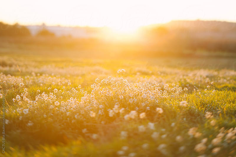 Flowers at sunset by Blai Baules for Stocksy United