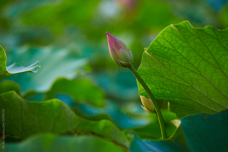 lotus flower by Bo Bo for Stocksy United