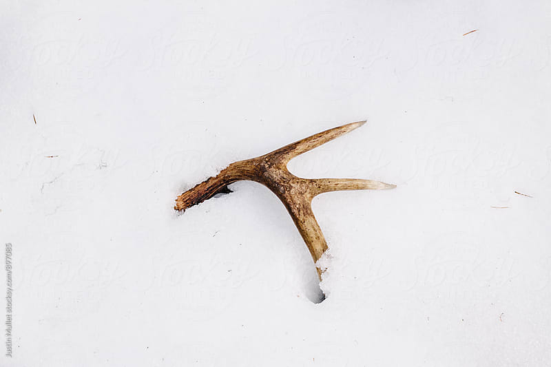 A small deer antler laying in the snow by Justin Mullet for Stocksy United