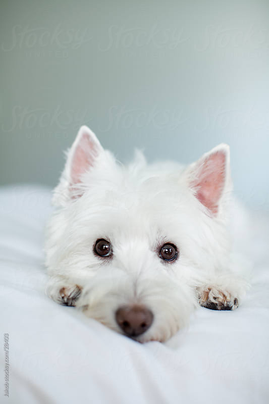 A cute white dog laying on a bed by Jakob for Stocksy United