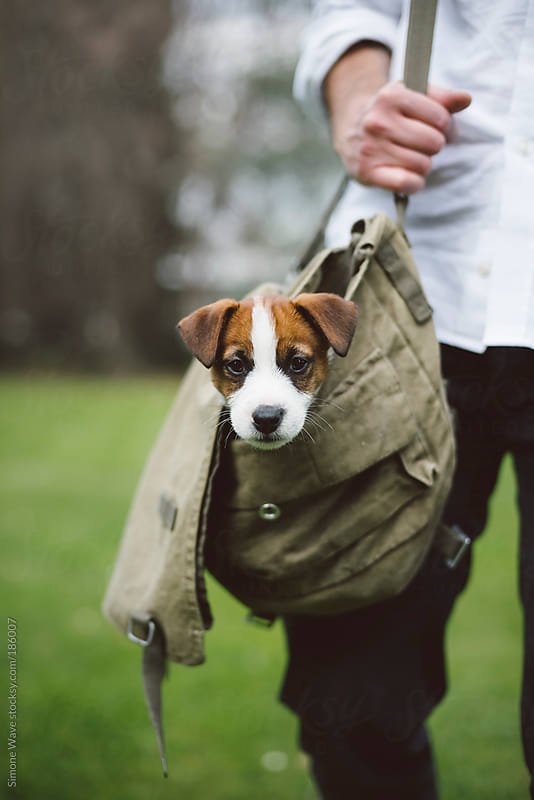 Cute puppy traveling in a bag by GIC for Stocksy United