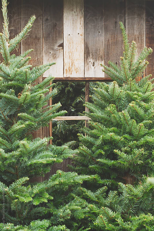 Christmas trees stand next to old wood wall by Tana Teel for Stocksy United