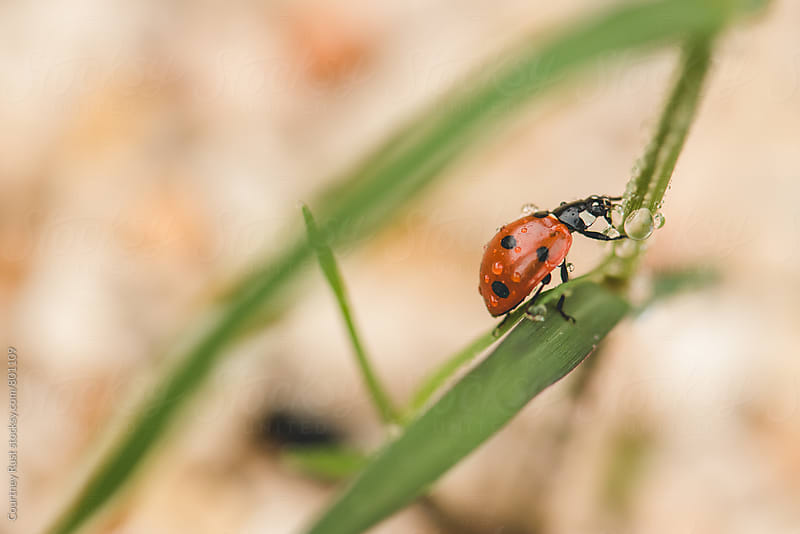 ladybug after a rain by Courtney Rust for Stocksy United
