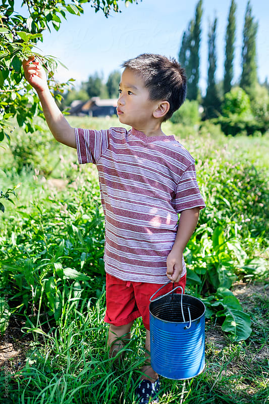 Asian kid picking blueberries at the farm by Suprijono Suharjoto for Stocksy United