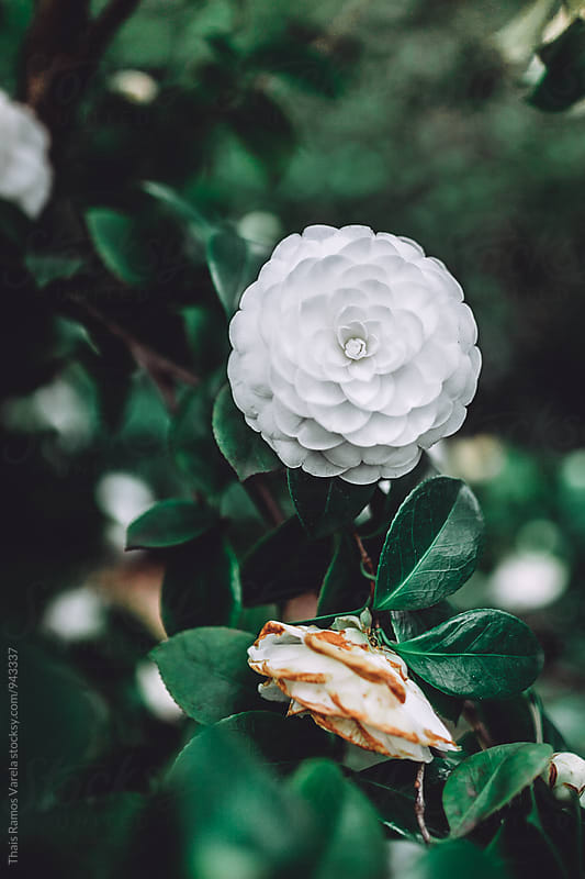 white camellia flower by Thais Ramos Varela for Stocksy United