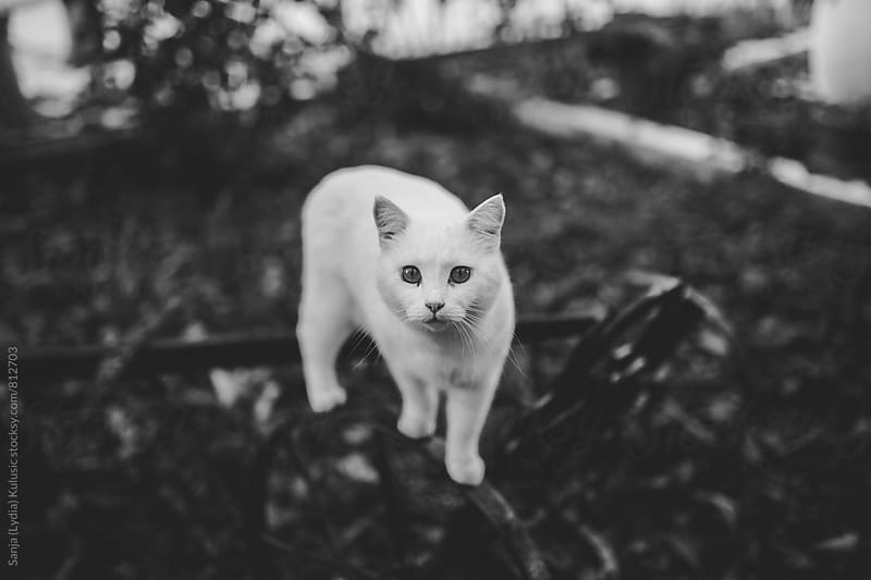 White cat wondering around in nature in black and white by Sanja (Lydia) Kulusic for Stocksy United