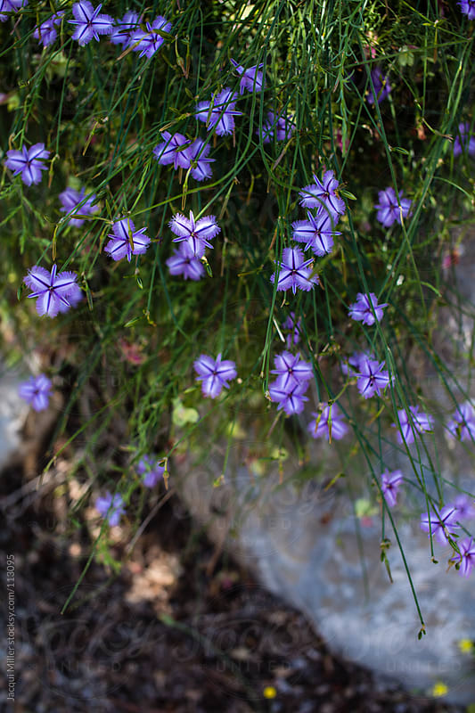 Purple flowers growing wild in the bush by Jacqui Miller for Stocksy United