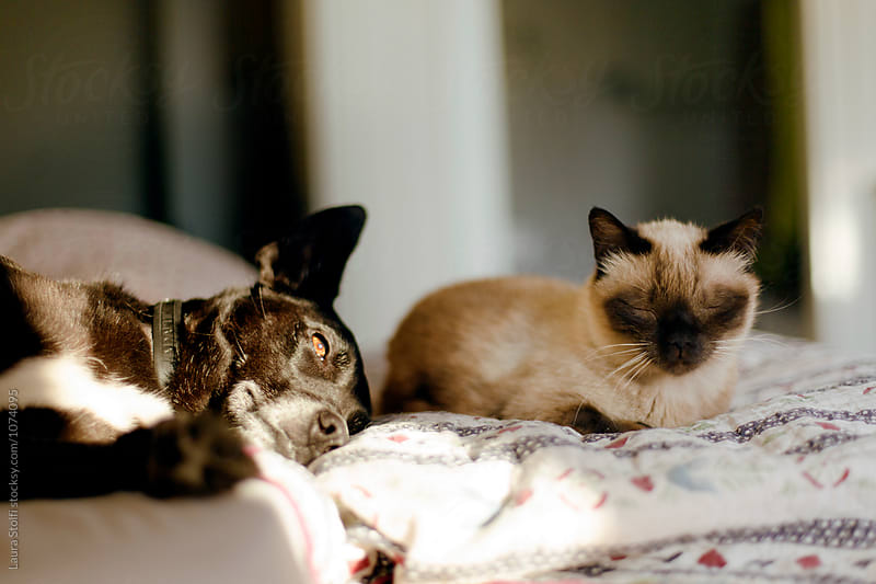 Little dog and cat lay together on bed with sunshine by Laura Stolfi for Stocksy United
