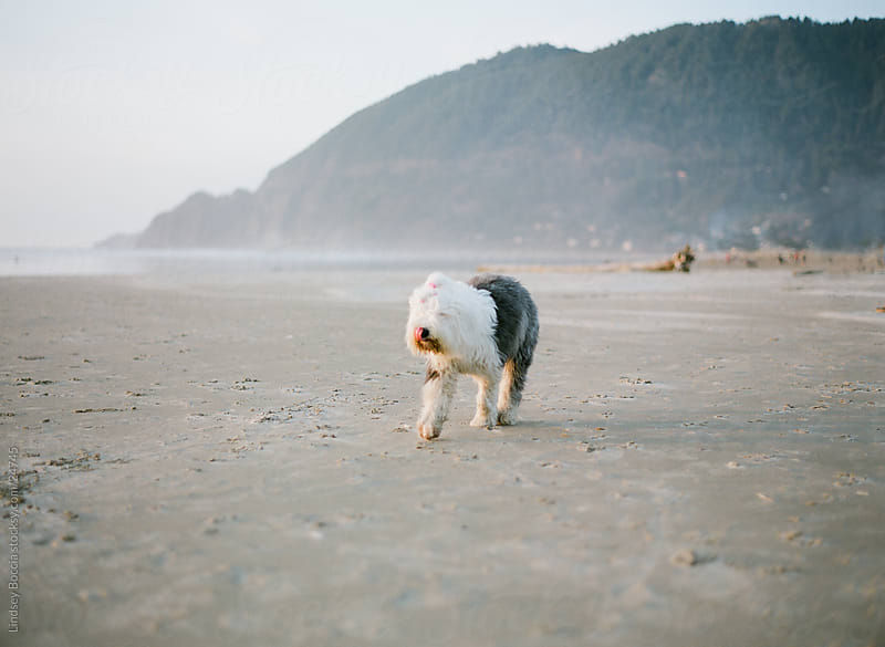 shaggy dog on the beach by Lindsey Boccia for Stocksy United