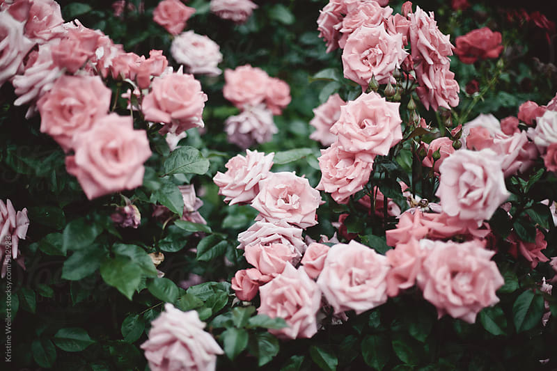 Beautiful roses in a rose garden by Kristine Weilert for Stocksy United