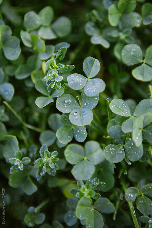 Clovers with raindrops by Zocky for Stocksy United