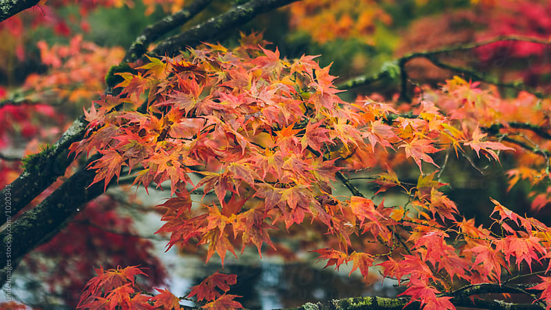 maple leaves by unite images for Stocksy United