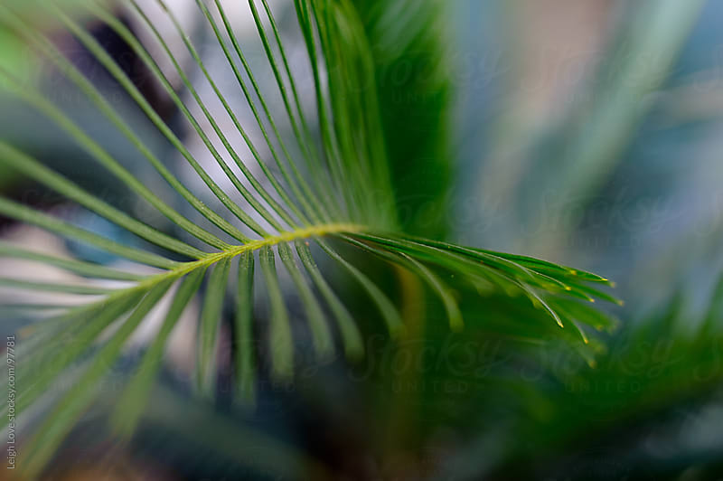 Closeup of Sago Palm Frond by Leigh Love for Stocksy United