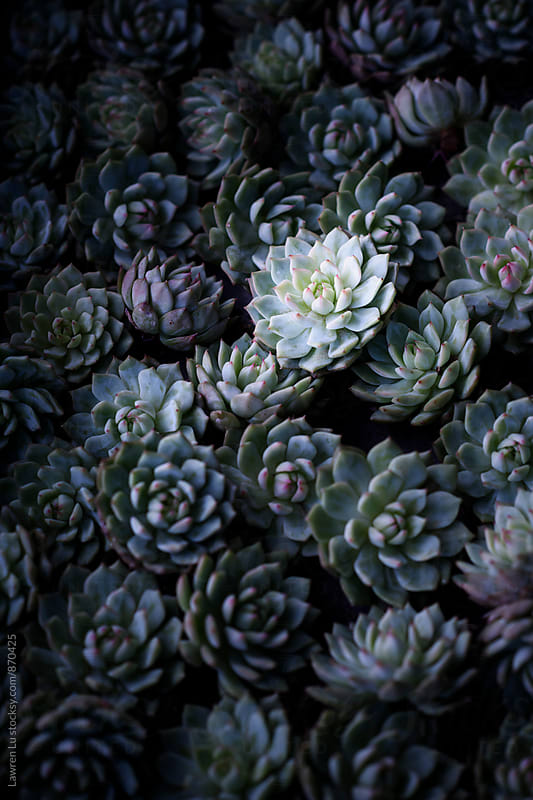 Group of Charming Succulent Plants with light and shadow by Lawren Lu for Stocksy United