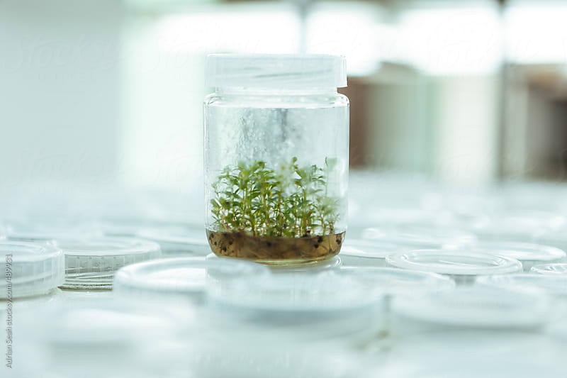 Saplings in a lab by Adrian Seah for Stocksy United