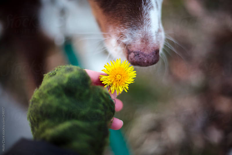 Dog Sniffs Dandelion by Holly Clark for Stocksy United