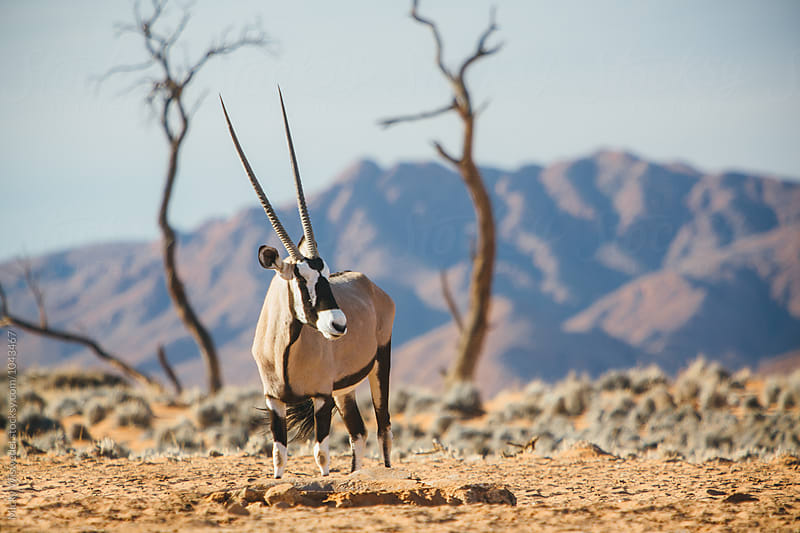 Wild Oryx in a desert landscape by Micky Wiswedel for Stocksy United