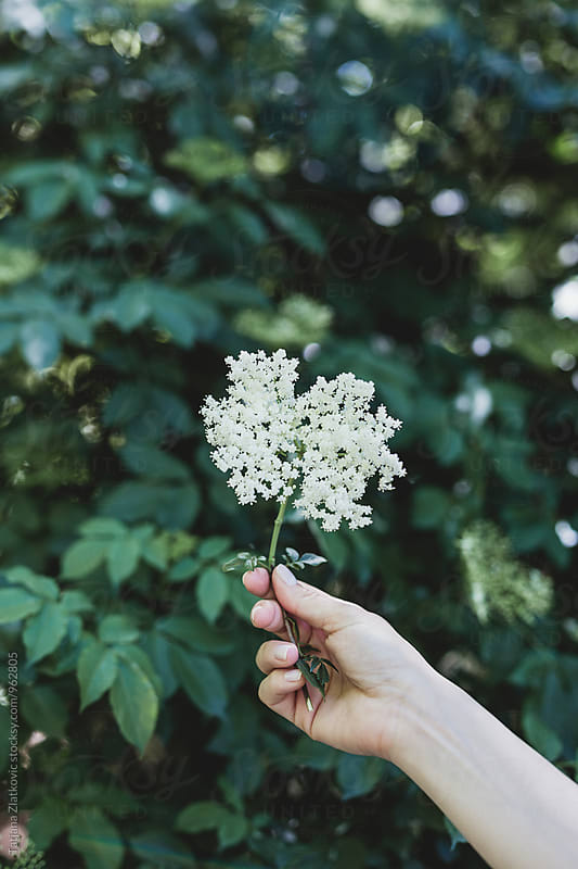 Hand holding elderflower by Tatjana Zlatkovic for Stocksy United