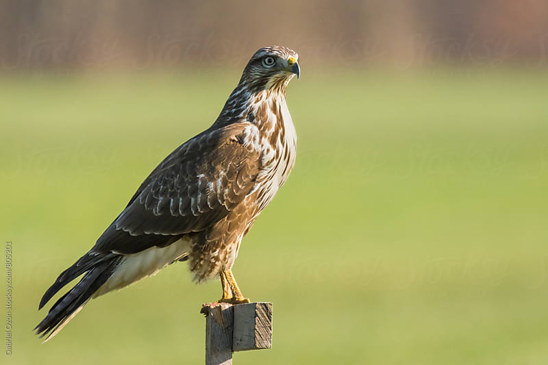 Common buzzard by Gabriel Ozon for Stocksy United