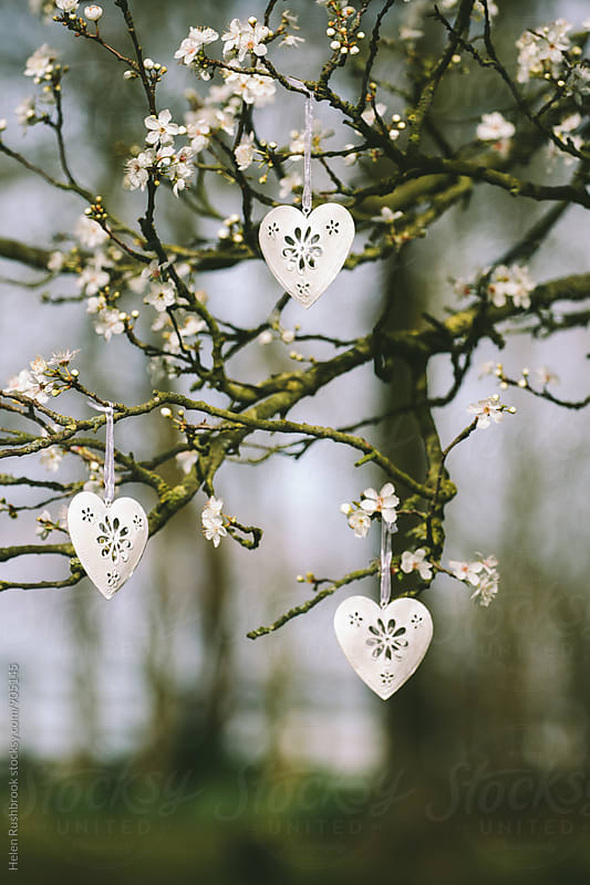 White metal heart decorations hanging in a blossom ree by Helen Rushbrook for Stocksy United