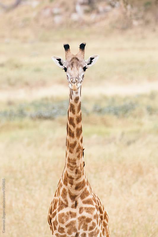 giraffe in Tanzania by Cameron Zegers for Stocksy United