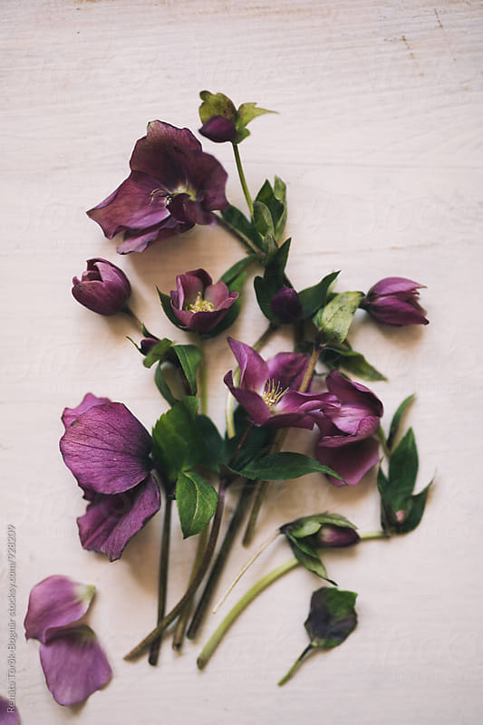 Overhead of purple hellebores by Török-Bognár Renáta for Stocksy United