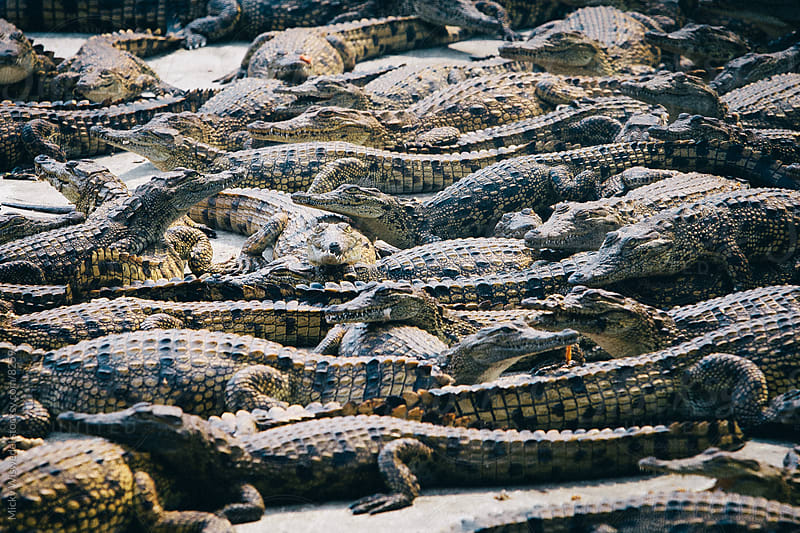 mass of young crocodiles by Micky Wiswedel for Stocksy United