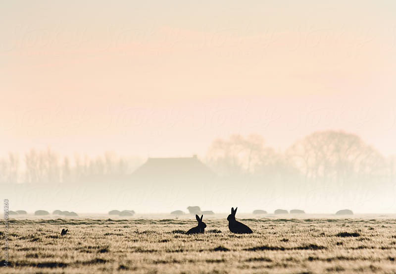 Two silhouetted hares in a pasture at sunrise by Marcel for Stocksy United