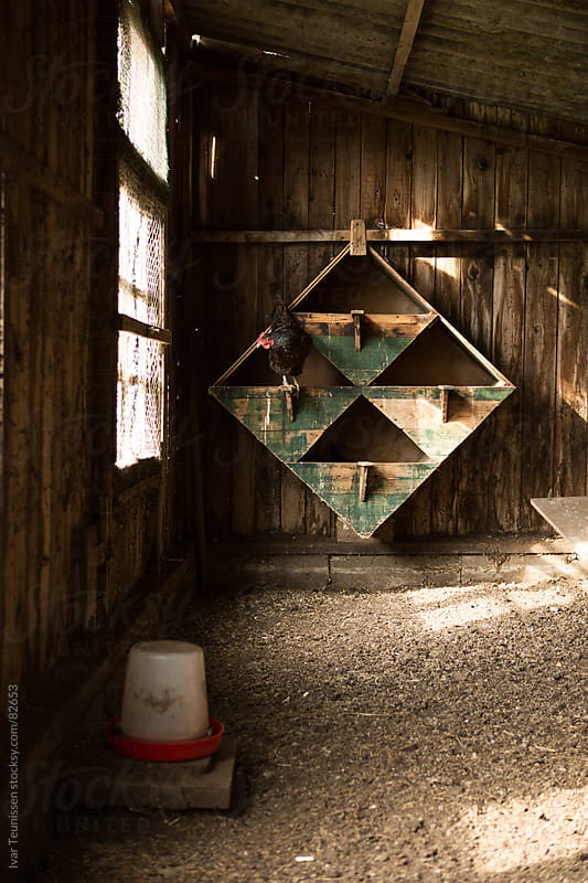 Chicken in her coop in old wooden shed. by Ivar Teunissen for Stocksy United