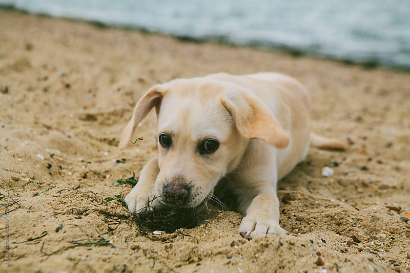 Labrador puppy playing with seaweed on a beach by kkgas for Stocksy United