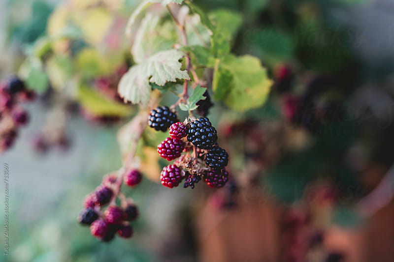Blackberries by Tatjana Zlatkovic for Stocksy United